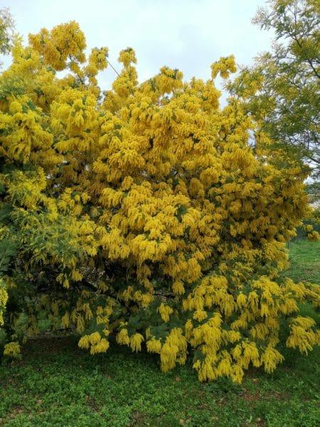 Photo de Mimosas à la bastide chez Claude-Jean Lapostat luminotherapie-formation.com